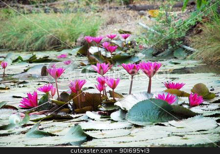 Pink lotus in lake  stock photo, Pink lotus in lake  by photomyheart