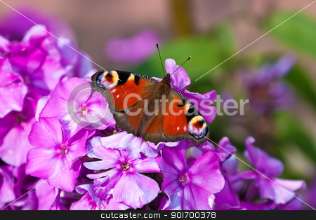 Peacock Butterfly stock photo, This image shows a macro from a peacock butterfly by kirschner