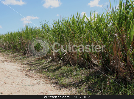 Dominican Sugar Cane Crop stock photo, Sugar cane fields in the Dominican Republic.  by Chris Hill