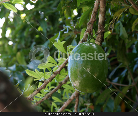 Fresh Mango Fruit stock photo, Fresh mango fruit hanging from a tree. by Chris Hill