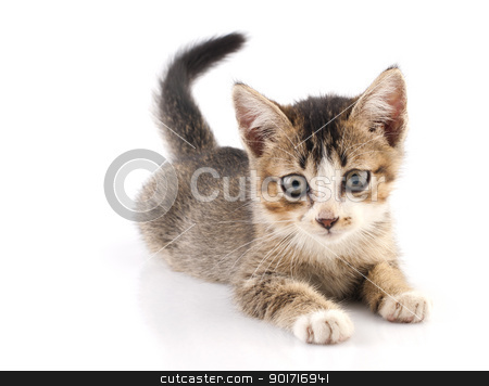 Kitten stock photo, One short haired baby cat on white background by szefei