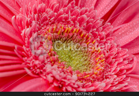 Pink gerbera flower stock photo, Pink gerbera flower closeup. by Homydesign