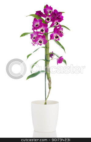 Beautiful pink orchid in a flowerpot stock photo, Pink orchid in a white flowerpot on white background. by Homydesign