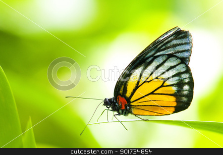 Butterfly stock photo, Close-up ER prioneris philonome themana (red spot sawtooth)on green leaf by szefei