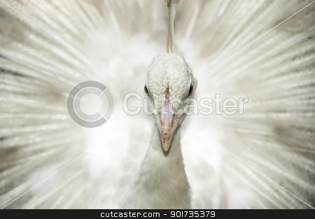 White peacock stock photo, A white male peacock is displaying feather by szefei