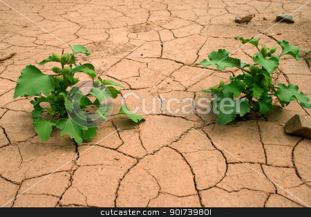 Drought. stock photo, On a background of dry ground two green bushes. by Yury Ponomarev