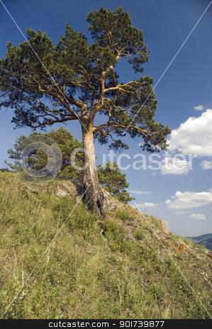 Summer  landscape. stock photo,  Pine on a background of the light-blue sky. by Yury Ponomarev