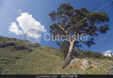 Blue sky and green tree. stock photo, Pine on a background of the light-blue sky. by Yury Ponomarev