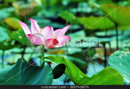 Asian pink lotus flower stock photo, The lotus flower (water lily) is national flower for India. Lotus flower is a important symbol in Asian culture. by thuhuyen