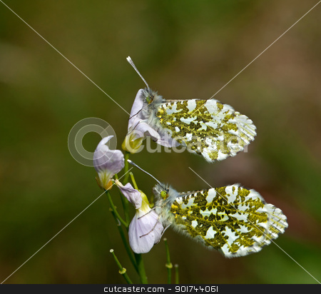 Orange-tip Butterflies Underwing stock photo, Female Orange-tip Butterflies roosting on Cuckoo Flower, showing green and yellow patterned underwing by Susan Robinson