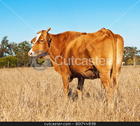 Rump end of brown cow with blue sky stock photo, Rump end of brown cow in winter pasture paddock with blue cloudless sky by sherjaca