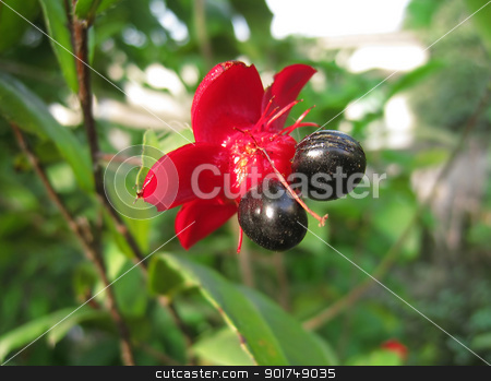 red flower with black seeds stock photo, A red flower with two black seeds by dinhngochung