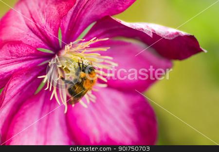 Bumble bee on pink Clematis flower stock photo, Little Bumble bee on pink Clematis flower in summer by Colette Planken-Kooij