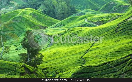 tea plantation stock photo, tea plantation view in morning by szefei