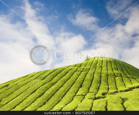 Tea plantation stock photo, Tea plantation at Cameron Highland Malaysia  by szefei