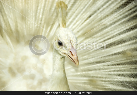 White peacock.  stock photo, White peacock. Origin from India and Sri Lanka. by szefei