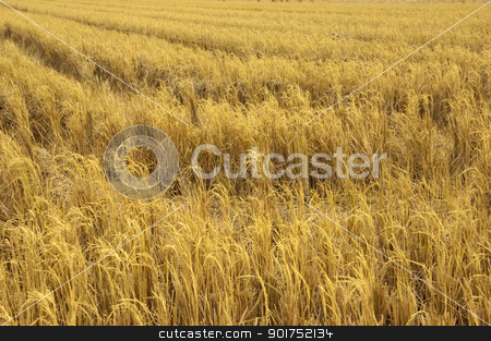 Harvesting. stock photo, View of dried paddy rice field after harvesting. by szefei