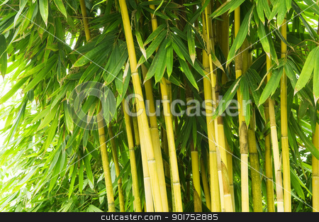 Bamboo tree stock photo, Asian Bamboo forest in the late afternoon sun.  by szefei