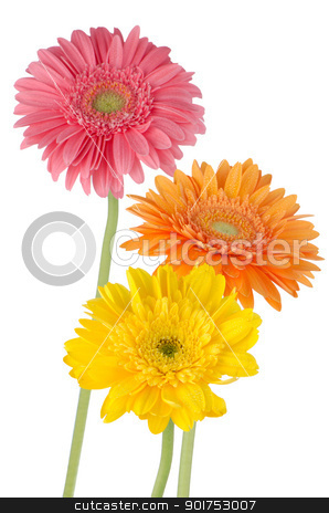 Three colorful gerber daisies stock photo, Three colorful gerber daisies in isolated white background. by Homydesign