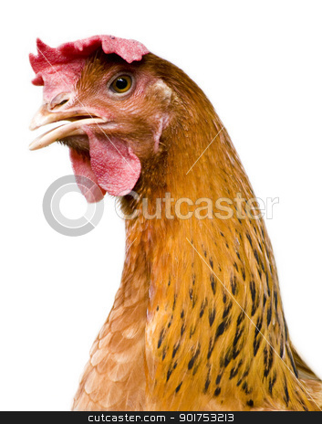 Hen Portrait. stock photo, Portrait of a curious brown hen. by szefei