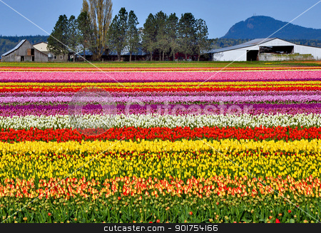 Colorful tulip farm stock photo, Rows of colorful tulips in springtime by perlphoto