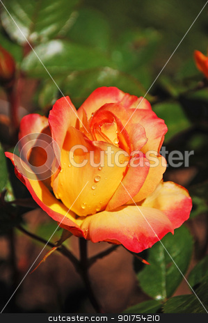 Single orange rose stock photo, Single orange rose against dark green background by perlphoto