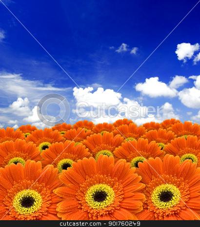 orange daisy flowers stock photo, orange daisy flowers against blue sky   by szefei