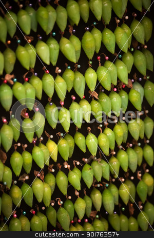 Rows of Cocoons Waiting to Hatch stock photo, Group of cocoons held with pins waiting for Blue Morpho butterflies to emerge by Scott Griessel