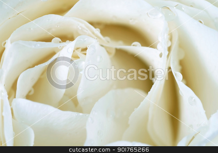 White rose stock photo, beautiful white rose flower with water drops macro closeup by Julija Sapic