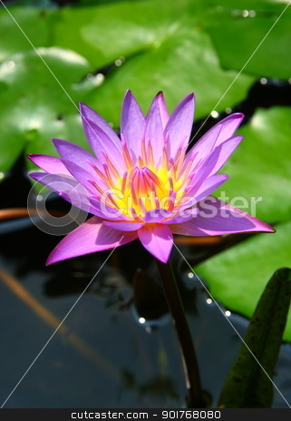 waterlily  stock photo, A beautiful purple waterlily  by kongsky