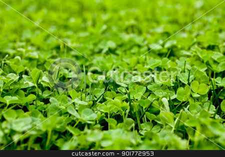 Vibrant Green Clover stock photo, a bright green clover patch shimmering in the sun by Rachel Duchesne