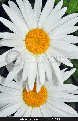 Two white daisies stock photo, Two white daisies with raindrops by perlphoto