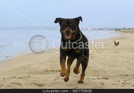 rottweiler running on the beach stock photo, portrait of a purebred rottweiler running on the beach by Bonzami Emmanuelle