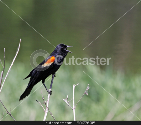 Red-winged Blackbird Screeching stock photo, A male Red-winged Blackbird (Agelaius phoeniceus) singing from a perch.  Shot in Kitchener, Ontario, Canada.  by Chris Hill