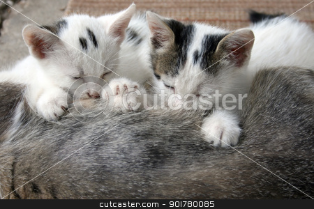 sucking kittens stock photo, sucking kittens by Minka Ruskova-Stefanova