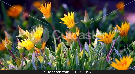 Ice Plant stock photo, Very colorful bright orange yellow ice plant. by Henrik Lehnerer
