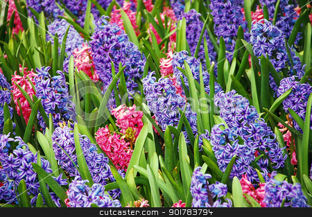 Spring hyacinth stock photo, Pink and purple hyacinth flowers by perlphoto