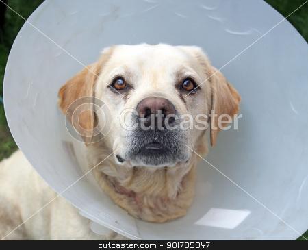 ill labrador dog in the garden wearing a protective cone stock photo, ill labrador dog in the garden wearing a protective cone by lizapixels