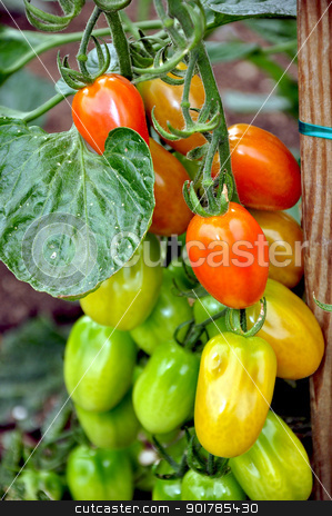 Summer tomatoes stock photo, Red and green summer tomatoes on the vine by perlphoto