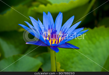 beautiful and vivid color of lotus stock photo, beautiful and vivid color of lotus blooming by Cherdchoosak Ngernsiam