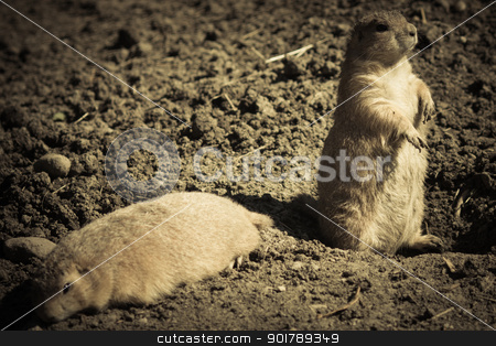 alert gopher stock photo, Gopher(Spermophilus dauricus) in the wild nature near the mink by Anatoliy Nykilchyk