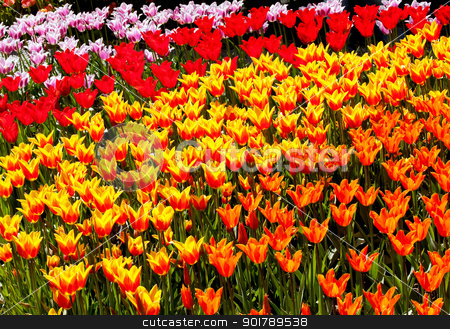 Red Yellow Orange Tulips Flowers Skagit Valley Washington State stock photo, Red Yellow Orange Tulips Flowers Skagit Valley Farm Washington State Pacific Northwest by William Perry