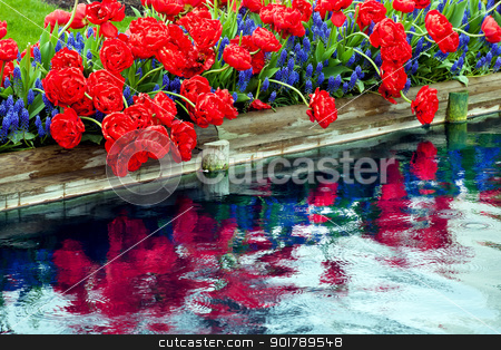 Red Tulips Blue Grape Hyacinty Reflection Skagit Valley Washingt stock photo, Red Tulips Blue Grape Hyacinths Muscari Flowers Reflection Skagit Valley Farm Washington State Pacific Northwest by William Perry