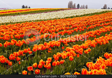 Red Orange White Yellow Tulips Flowers Field Skagit Valley Washi stock photo, Red Orange White Tulips Flowers Field Skagit Valley Farm Washington State Pacific Northwest by William Perry