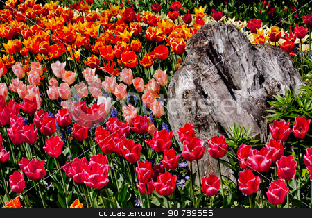 Colorful Tulips Flowers Wood Skagit Valley Washington State stock photo, Colorful Tulips Flowers Wood Skagit Valley Farm Washington State Pacific Northwest by William Perry