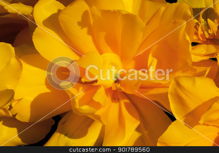 Yellow Frilly Tulip Black Backgroundn Flower Skagit Valley Washi stock photo, Yellow Tulip Flower Open Black Background Skagit Valley Farm Washington State Pacific Northwest by William Perry