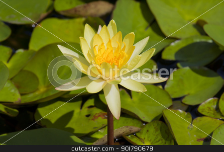 yellow lotus stock photo, Yellow lilies blooming in the hot sun. by thepoo