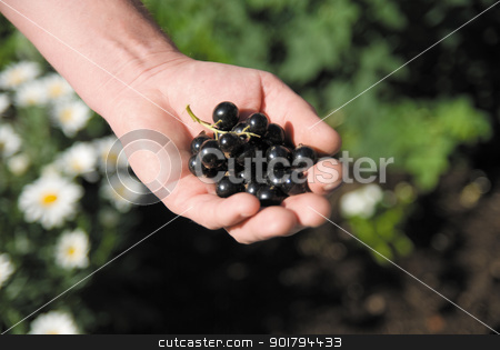 Berries of a black currant stock photo, Berries of a black currant on a hand by Vadim