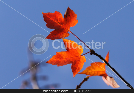 Bright Autumn Maple Leaves stock photo, Colorful maple leaves glowing orange and red in the sunlight by Sarah-Jane Allen
