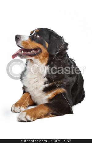 Bernese Mountain Dog stock photo, Bernese Mountain Dog in front of a white background by Erik Lam